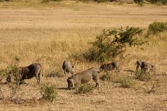 Warthog in Sabi Sands Safari Stock Photos