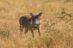 Warthog in Sabi Sands Safari Royalty Free Stock Image