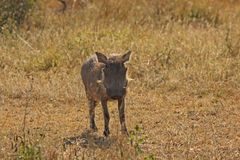 Warthog in Sabi Sands Safari Stock Image