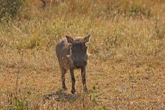 Warthog in Sabi Sands Safari. Warthogs in Sabi Sand Game Reserve, South Africa Stock Image