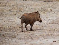 Warthog in Africa safari Tarangiri-Ngorongoro. Warthog on Safaris in Tarangiri-Ngorongoro, safari wilderness, savannah, warthog in the natural environment royalty free stock images