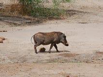 Warthog in Africa safari Tarangiri-Ngorongoro. Warthog on Safaris in Tarangiri-Ngorongoro, safari wilderness, savannah, warthog in the natural environment stock images