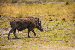 Warthog in savanna of Botswana Royalty Free Stock Photo