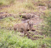 Warthog in the savanna Royalty Free Stock Photography