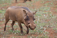 Warthog in the savannah Royalty Free Stock Photo
