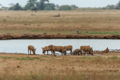 Warthog in the savannah of africa Stock Photography