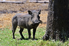 Warthog in the savannah Royalty Free Stock Image