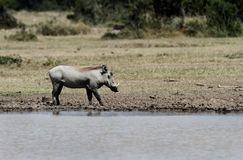 A warthog in Savannah Royalty Free Stock Photos