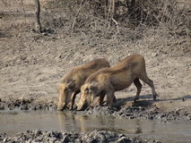 Warthog sedento Imagens de Stock