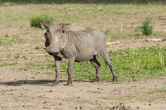 Warthog in Selous game reserve Royalty Free Stock Image