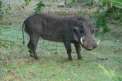 Warthog. Side view of large male warthog with two tusks facing the camera grazing on the grass near a bush Royalty Free Stock Images