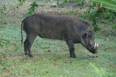 WARTHOG. Side view of large male warthog with two tusks facing right frame grazing on the grass near a bush Royalty Free Stock Image