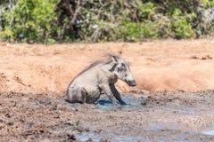 Warthog sitting in mud Stock Image