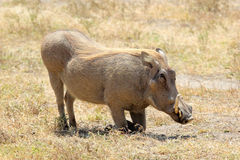 A warthog sitting Royalty Free Stock Photography