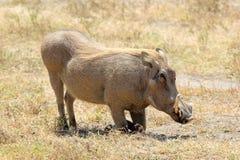 A warthog sitting. A warthog (Phacochoerus africanus) is sitting, Ngorongoro Conservation Area, Tanzania Royalty Free Stock Photography