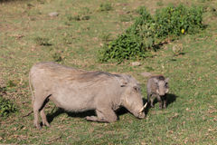 Warthog with small baby Royalty Free Stock Photo