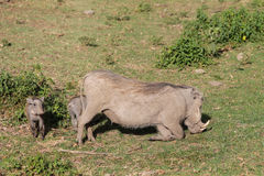 Warthog with small baby. Warthog in African savana on dry grass at safari game wild nature in Masai Mara, Amboseli, Samburu, Serengeti and Tsavo national parks Stock Photography