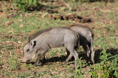 Warthog small baby Stock Photo