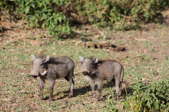 Warthog small baby Royalty Free Stock Image