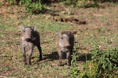 Warthog small baby. Warthog in African savana on dry grass at safari game wild nature in Masai Mara, Amboseli, Samburu, Serengeti and Tsavo national parks of Royalty Free Stock Image