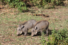 Warthog small baby Stock Photography