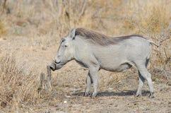 Warthog sniffing stump Stock Photos