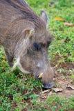 Warthog som söker efter mat Royaltyfria Foton