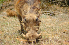 Warthog in South Africa. An active warthog - vlakvark - phacochoerus aethiopicus - looking for food watched by other warthogs at the water hole in a game park in Royalty Free Stock Photography
