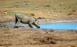 Warthog in South Africa. An active warthog - vlakvark - phacochoerus aethiopicus - looking for food at the water hole watched by other warthogs in a game park in Stock Photo