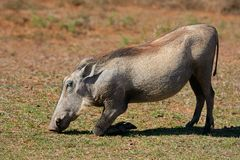 Warthog, South Africa Stock Photos
