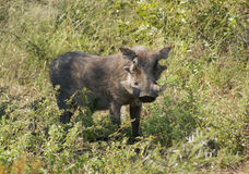 Warthog in South Africa Stock Image