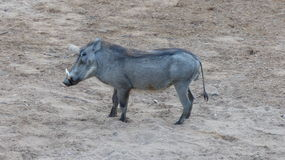 Warthog. In the South African bush Stock Image