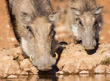 Warthog sow and piglet drinking water in the early morning su Stock Image