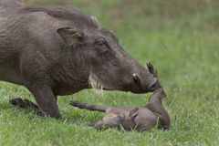 Warthog sow and piglet. Stock Photo