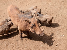 Warthog sow with suckling piglets Royalty Free Stock Photos