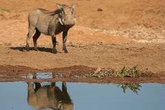 Warthog standing. At a waterhole waiting to drink Royalty Free Stock Photo