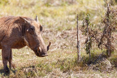Warthog standing at the bushes Stock Images