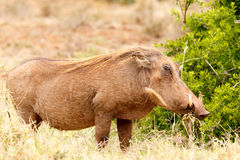 Warthog standing and chilling Royalty Free Stock Images
