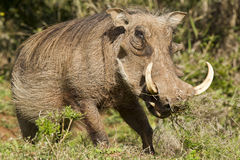 Warthog standing and eating grass Royalty Free Stock Photography