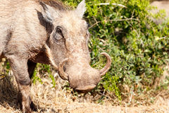 Warthog standing with his turn up horns Royalty Free Stock Photo