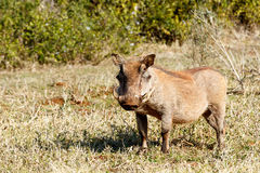 Warthog Standing and looking. Royalty Free Stock Photo