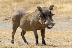 A warthog standing Royalty Free Stock Image