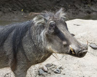 Warthog. Standing in a ravine Stock Photos