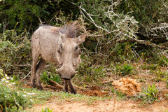 Warthog standing still for a photo Stock Image