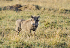A warthog staring at Camera Stock Images
