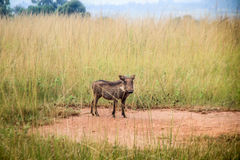 Warthog starring at the camera. Warthog starring at the camera in the Kruger National Park, South Africa Stock Photos