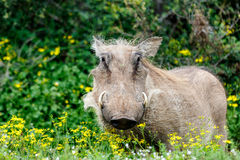 Warthog Strike a Pose. Addo Elephant National Park is a diverse wildlife conservation park situated close to Port Elizabeth in South Africa and is one of the royalty free stock images