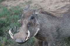 Warthog   in the sun Royalty Free Stock Photography
