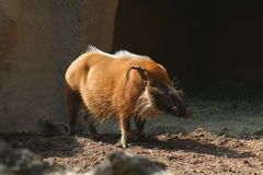 Warthog in Sunlight Stock Images