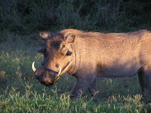 Warthog at sunrise. Warthog captured in early sunrise in Kruger National Park in South Africa stock photography